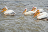 Bahir Dar, Amhara, Ethiopia: pelicans on Lake Tana - fauna - photo by M.Torres