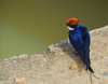 Bahir Dar, Amhara, Ethiopia: blue bird - photo by M.Torres