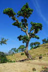Tis Issat, Amhara, Ethiopia: lone tree - photo by M.Torres