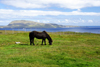 T�rshavn, Streymoy island, Faroes: horse grazing and Nolsoy island in the background - photo by A.Ferrari