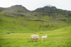 Tr�llanes, Kalsoy island, Nor�oyar, Faroes: sheep and their pasture - ewe and lamb - Ovis aries - photo by A.Ferrari