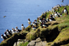 Mykines island, Faroes: large colony of Atlantic Puffins - Fratercula arctica - photo by A.Ferrari