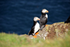 Mykines island, Faroes: pair of Atlantic Puffins - puffins form long-term relationships - Fratercula arctica - photo by A.Ferrari
