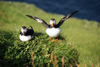 Mykines island, Faroes: pair of Atlantic Puffins on a cliff top - Fratercula arctica - photo by A.Ferrari