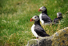 Mykines island, Faroes: Atlantic Puffins on the grass - Fratercula arctica - photo by A.Ferrari