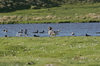 Falkland islands - East Falkland - Port Louis - ducks in a pond - photo by Christophe Breschi