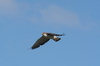 Falkland islands - East Falkland - Port Louis - Red-backed Hawk in flight - Red-backed Buzzard - Buteo polyosoma - photo by Christophe Breschi