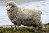 Falkland islands - East Falkland - Salvador - Falkland sheep - wool production - photo by Christophe Breschi