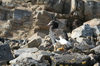 Falkland islands - East Falkland - Salvador - Kelp Goose on rocks - Chloephaga hybrida malvinarum - photo by Christophe Breschi