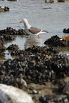 Falkland islands - East Falkland - Salvador - Kelp Gull - Dominican Gull - Larus dominicanus - photo by Christophe Breschi
