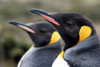 Falkland islands - East Falkland - Salvador - pair of King Penguins - close up - Aptenodytes patagonicus - photo by Christophe Breschi