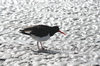 Falkland islands - East Falkland - San Salvador - Pied Oystercatcher - Magellanic Oystercatcher - Haematopus leucopodus - photo by Christophe Breschi