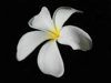 Fiji - Denarau Island: White Flower - Frangipani or Plumeria (photo by B.Cain)