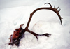 Finland - Lapland - reindeer head with antlers in the snow - Arctic images by F.Rigaud