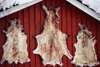 Finland - Lapland - reindeer skins - Arctic images by F.Rigaud