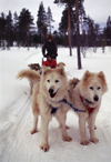 Finland - Lapland - Ivalo - Huskies at work - sledge - dogsled - Arctic images by F.Rigaud