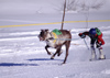 Finland - Lapland - Ivalo - Reindeer races - Arctic images by F.Rigaud