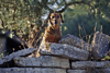 Gordes, Vaucluse, PACA, France: Doxin Hound on a wall in the golden-stone village of Gordes - photo by C.Lovell