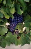 Vaucluse, PACA, France: red wine grapes ripening on the vine - photo by C.Lovell