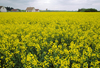 Loir-et-Cher, Centre, France: yellow mustard field and farm house - Loire Valley - photo by C.Lovell