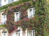 Le Havre, Seine-Maritime, Haute-Normandie, France: Ivy Covered House - brick facade - photo by A.Bartel