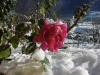 France - Ancizan (Midi-Pyrénées - Hautes Pyrénées dpt): winter rose (photo by A.Caudron)