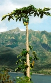 French Polynesia - Nuku Hiva island - Marquesas: tropical fruit and the mountains (photo by G.Frysinger)