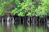 Gabon Estuary, Estuaire Province, Gabon: mangroves grow in the brackish water along the banks - Gabon River - Komo Estuary - photo by M.Torres