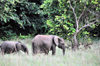 Wonga-Wongue reserve, Ogooué-Maritime, Gabon: elephants - mother and son - African Forest Elephant - Loxodonta cyclotis - photo by M.Torres