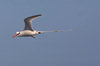 Galapagos Islands: Red Billed Tropicbird or Boatswain Bird - in flight - Phaethon aethereus - photo by R.Eime