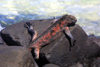 Galapagos Islands - Espanola island: red marine iguana on the basaltic rocks - family Iguanidae - photo by R.Eime