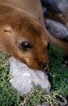 Plazas Island, Galapagos Islands, Ecuador: a young Galapagos Sea Lion pup (Zalophus californianus) - head on a rock - photo by C.Lovell