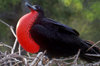 Plazas Island, Galapagos Islands, Ecuador: male Frigate bird (Frigata minor) displaying its colorful red pouch in a mating ritual - photo by C.Lovell