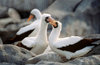 Isabela Island, Galapagos Islands, Ecuador: couple of Masked Booby birds (Sula dactyatra) building a nest among the rocks - photo by C.Lovell