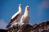Isla Española, Galapagos Islands, Ecuador: Masked Booby Bird (Sula dactylatra) with chick - photographed on a rock edge, against the sky - photo by C.Lovell