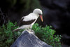 Isla Española, Galapagos Islands, Ecuador: Maked Booby Bird (Sula dactylatra) perched on a pointed rock - photo by C.Lovell