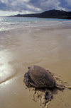 Floreana Island, Galapagos Islands, Ecuador: Pacific Green Sea Turtle (Chelonia mydas) returns to sea after nesting - beach and tranquil waves - photo by C.Lovell