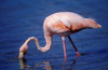 Floreana Island, Galapagos Islands, Ecuador: Greater Flamingo (Phoenicopterus ruber) feeding on a lagoon - photo by C.Lovell