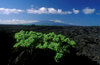 Isla Isabela / Albemarle island, Galapagos Islands, Ecuador: morning sky over the island - vegetation in lava field - Archipiélago de Colón - photo by C.Lovell