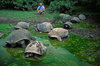 Galapagos Islands, Ecuador: the Giant Tortoise (Geochelone elephantopus) travels inland for freshwater - tourist observes a group of Tortoises in the water - photo by C.Lovell