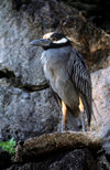 Genovesa Island / Tower Island, Galapagos Islands, Ecuador: the Yellow-crowned Night Heron (Nyctanassa violacea) feeds mainly at night - photo by C.Lovell