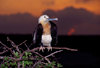Genovesa Island / Tower Island, Galapagos Islands, Ecuador: female Great Frigate bird (Fregata minor) at sunset - perched on a branch - photo by C.Lovell