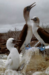 Galapagos Islands, Ecuador: Blue Footed Booby birds (Sula nebouxii) with chick - photo by C.Lovell