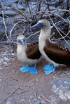 Galapagos Islands, Ecuador: a mating pair of Blue-footed Booby birds (Sula nebouxii) - photo by C.Lovell
