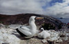 Daphne Island, Galapagos Islands, Ecuador: Masked Booby Bird (Sula Dactylatra) with chick in nesting ground - photo by C.Lovell