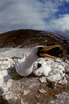 Daphne Island, Galapagos Islands, Ecuador: Masked Booby Birds (Sula dactylatra) - mother protects a chick - photo by C.Lovell