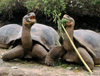 Galapagos Islands, Ecuador: giant tortoises at the Charles Darwin Research Station - photo by R.Eime