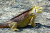Galapagos Islands - Unesco world heritage site - Santa Cruz island: land iguana - conolophus subcristatus - photo by R.Eime