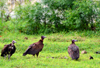 Banjul island, The Gambia: three Hooded vultures (Necrosyrtes monachus) wait on the grass - Old World Vulture - photo by M.Torres