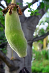 Banjul, Gambia: Baobab fruit hanging from the tree, which is seen in the background - African baobab - Adansonia digitata - photo by M.Torres
